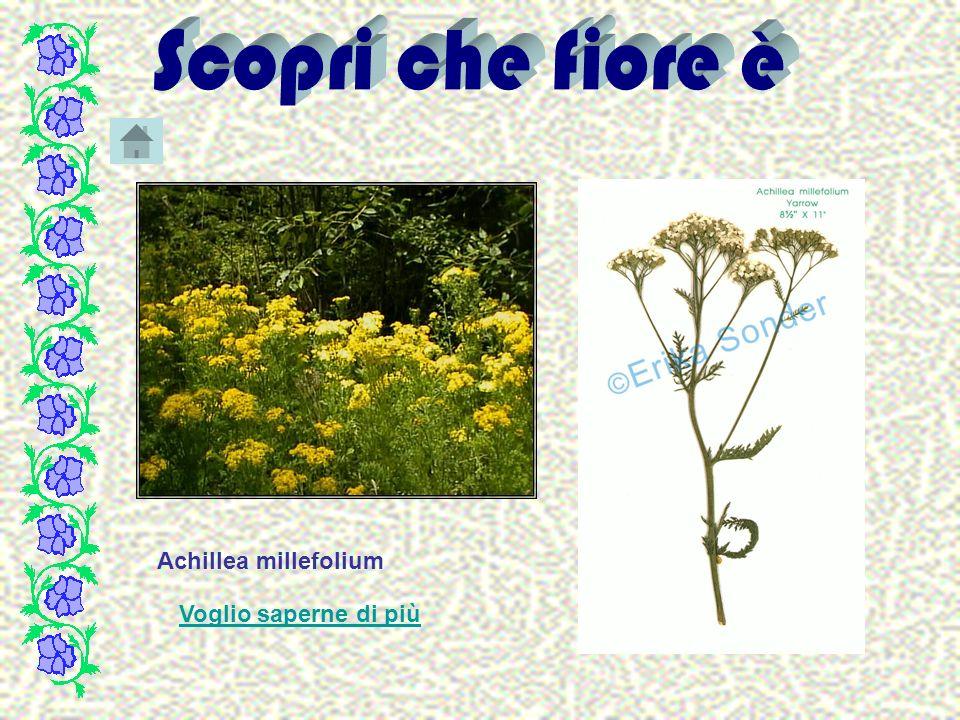 Achillea millefolium Voglio saperne di più