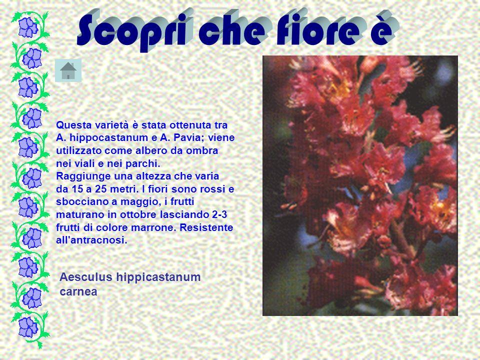 Aesculus hippicastanum carnea