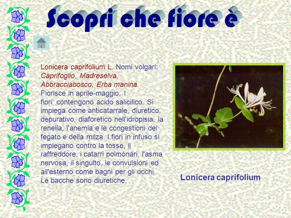 Lonicera caprifolium L