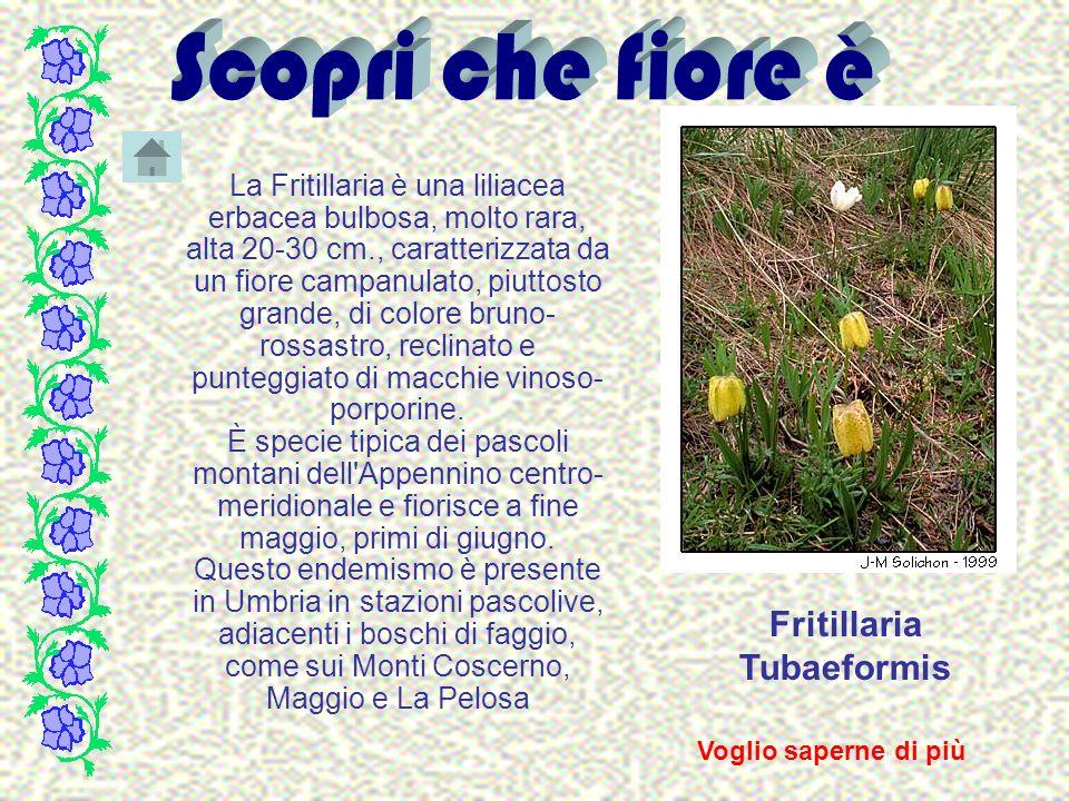 Fritillaria Tubaeformis