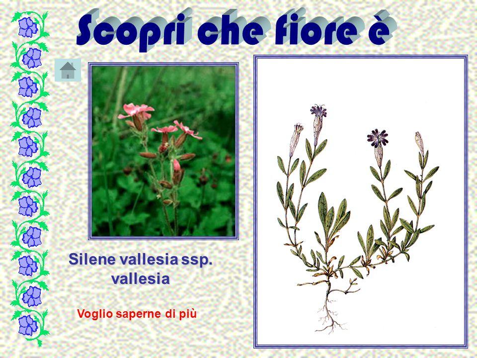 Silene vallesia ssp. vallesia