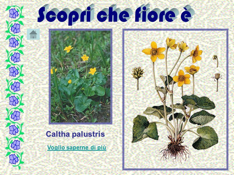 Caltha palustris Voglio saperne di più