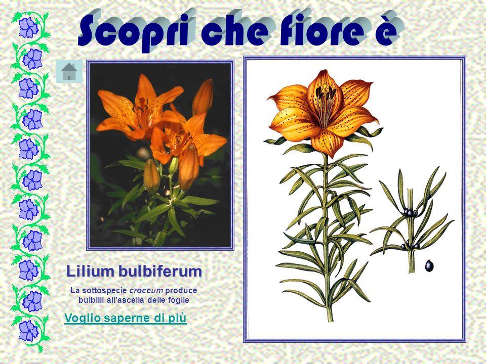 La sottospecie croceum produce bulbilli all'ascella delle foglie