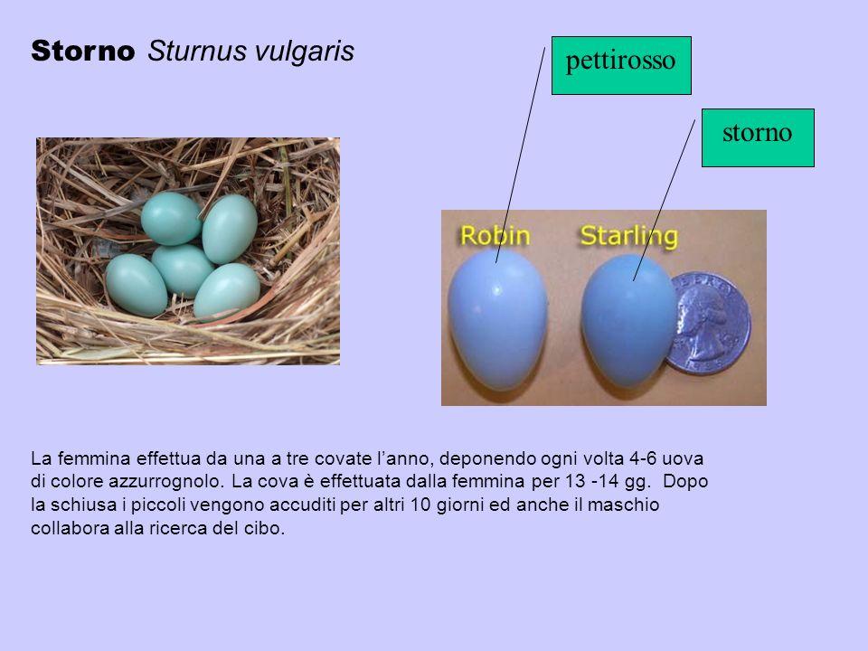 Storno Sturnus vulgaris pettirosso