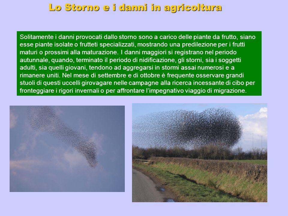 Lo Storno e i danni in agricoltura