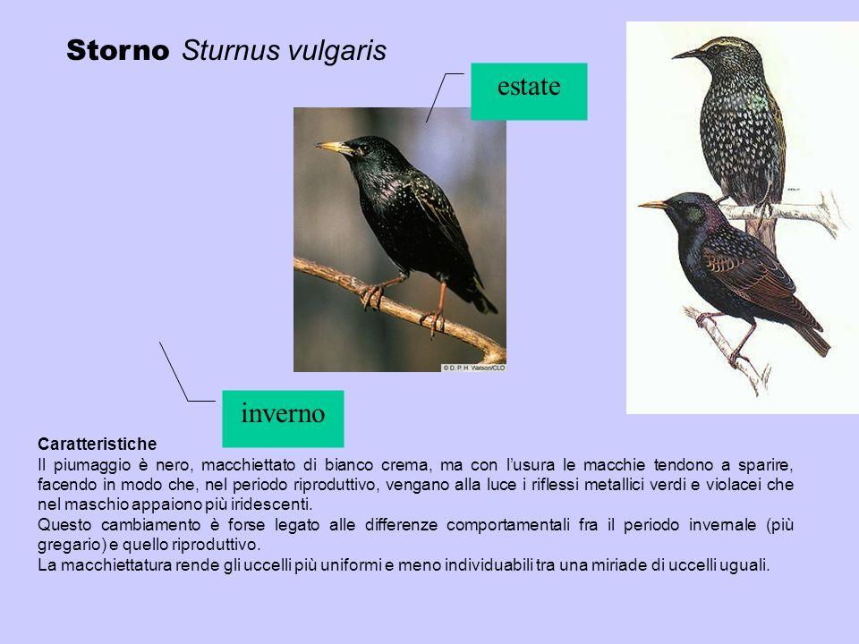 Storno Sturnus vulgaris estate