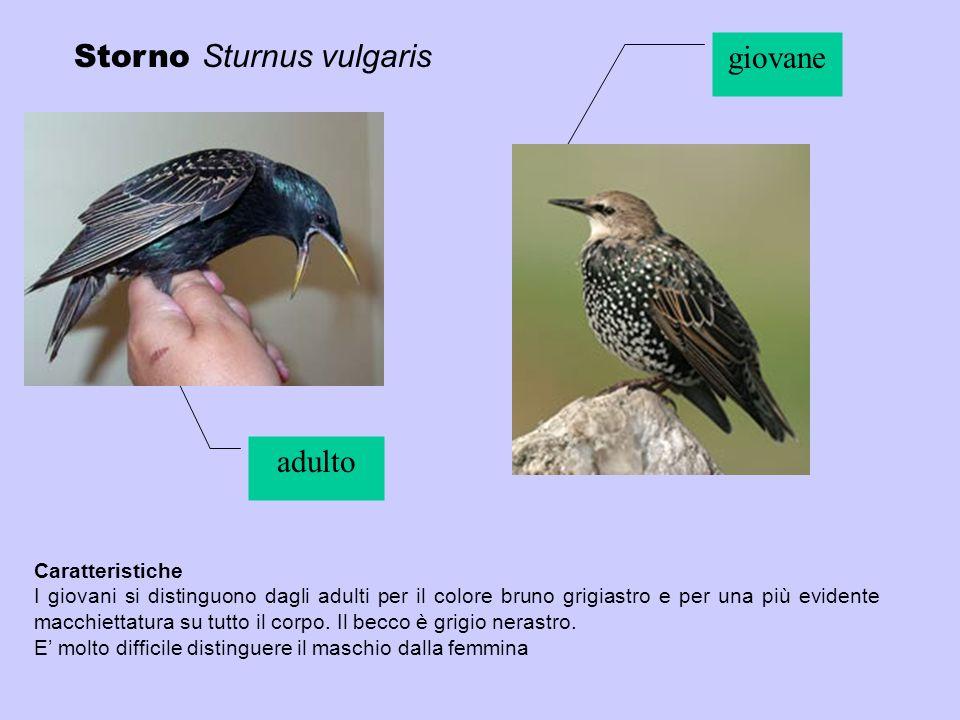 Storno Sturnus vulgaris giovane