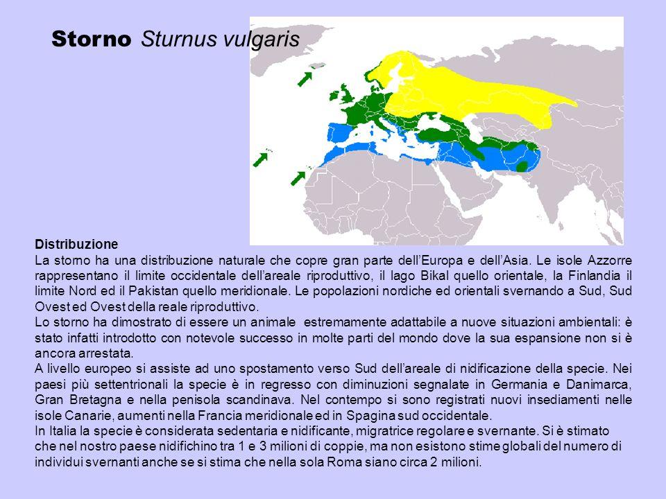 Storno Sturnus vulgaris