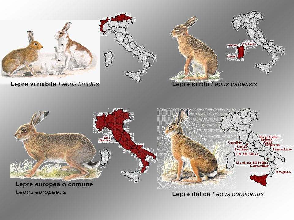 Lepre variabile Lepus timidus