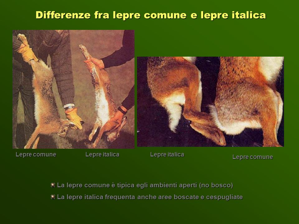 Differenze fra lepre comune e lepre italica