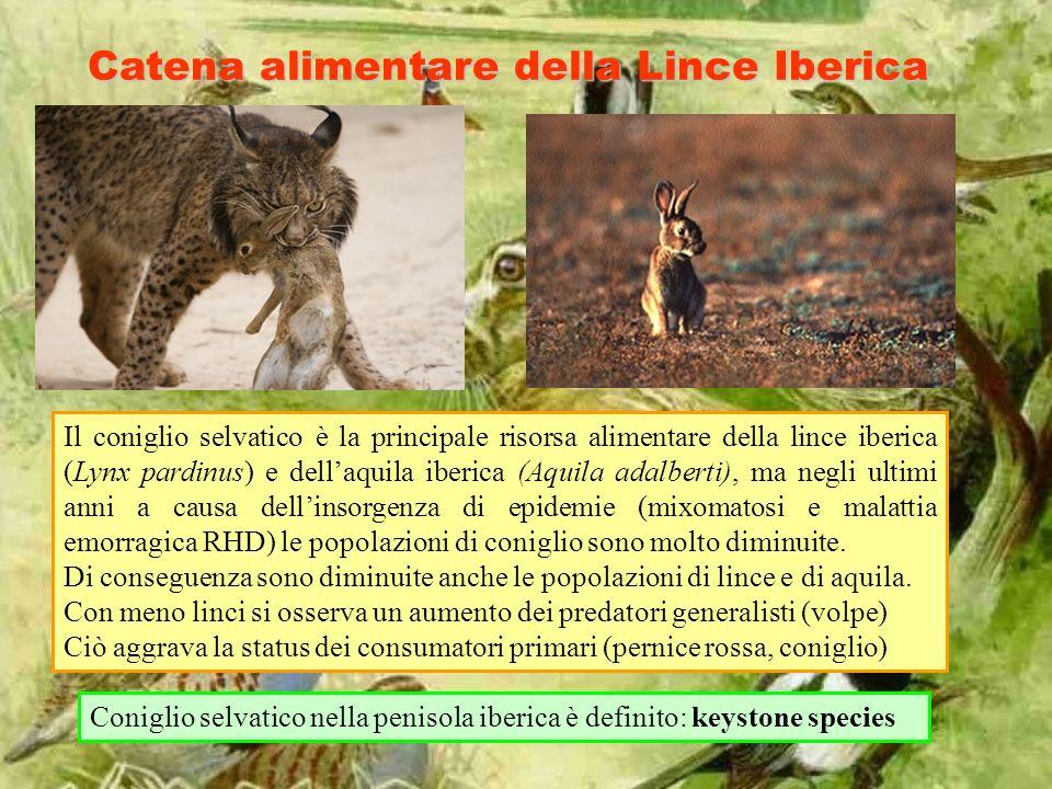 Catena alimentare della Lince Iberica