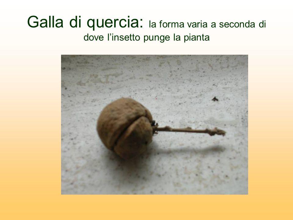 Galla di quercia: la forma varia a seconda di dove l'insetto punge la pianta