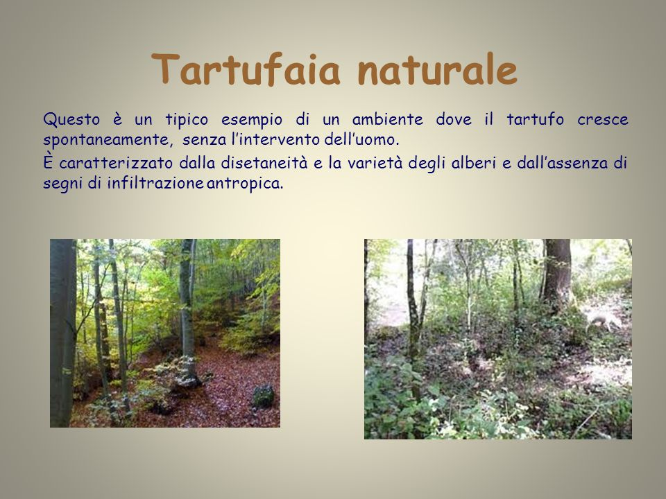 Tartufaia naturale Questo è un tipico esempio di un ambiente dove il tartufo cresce spontaneamente, senza l'intervento dell'uomo.