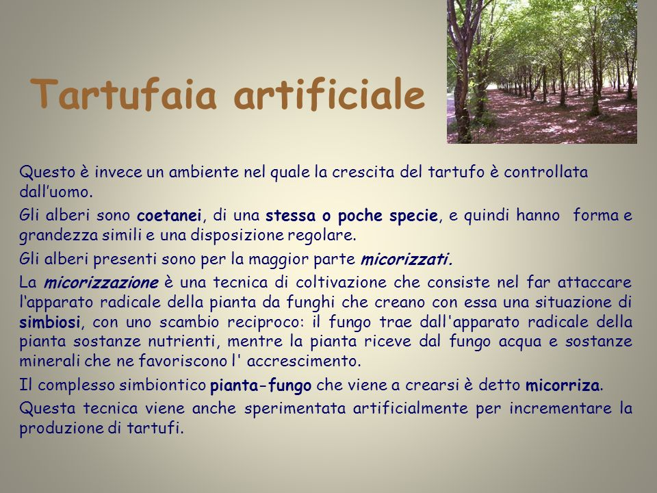 Tartufaia artificiale