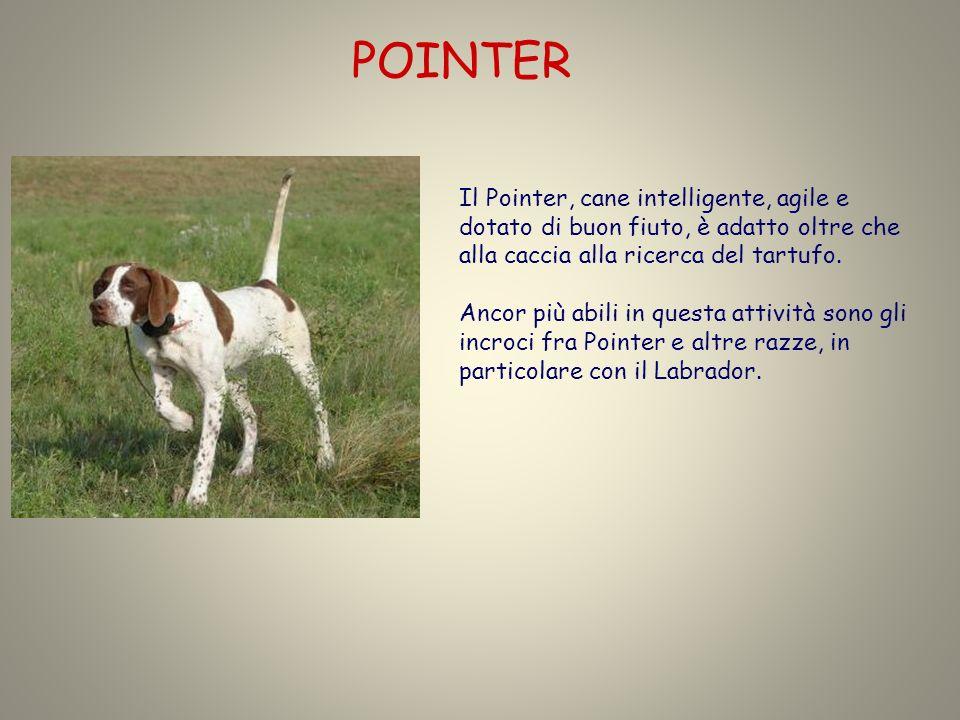 POINTER Il Pointer, cane intelligente, agile e dotato di buon fiuto, è adatto oltre che alla caccia alla ricerca del tartufo.