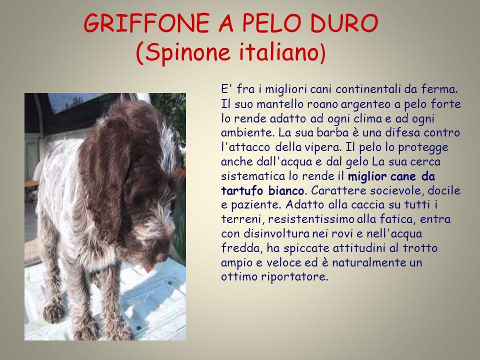 GRIFFONE A PELO DURO (Spinone italiano)