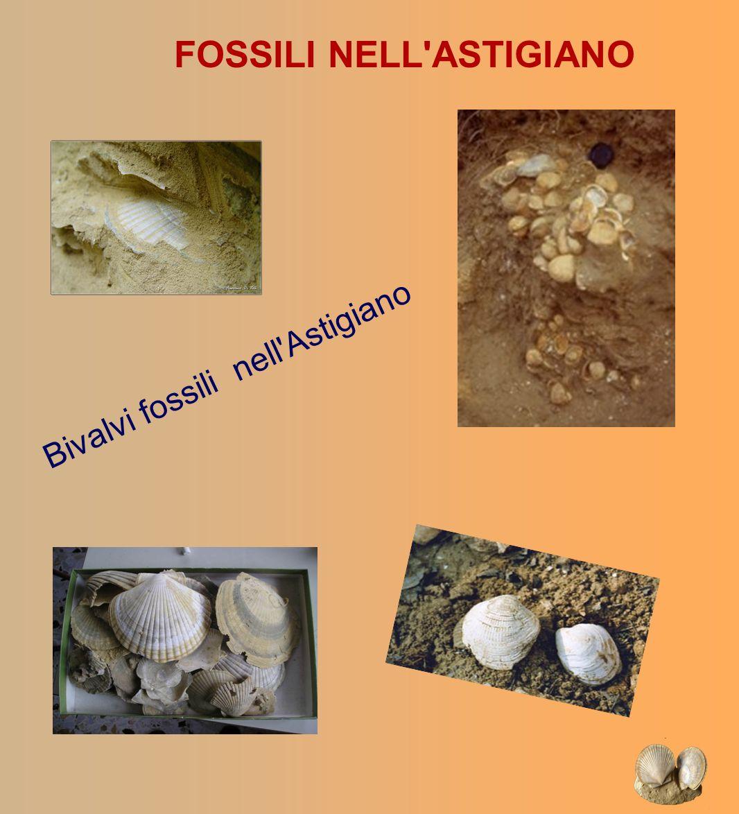 Bivalvi fossili nell Astigiano
