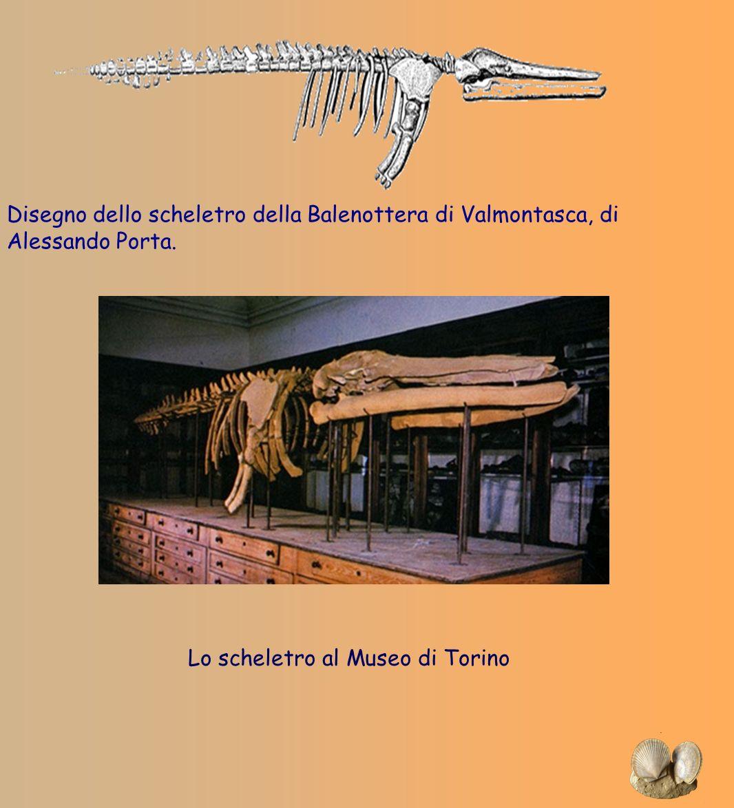 Disegno dello scheletro della Balenottera di Valmontasca, di Alessando Porta.