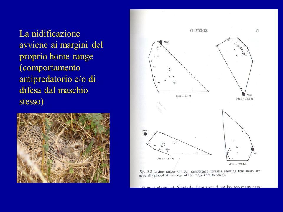 La nidificazione avviene ai margini del proprio home range (comportamento antipredatorio e/o di difesa dal maschio stesso)