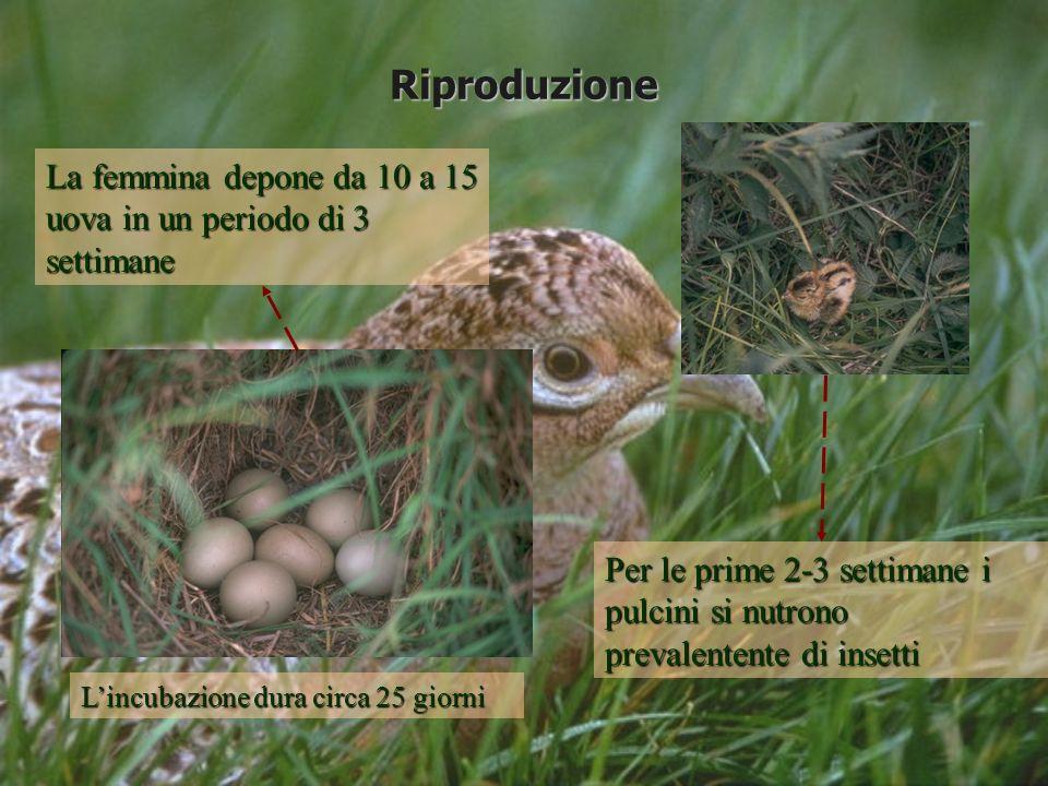 Riproduzione La femmina depone da 10 a 15 uova in un periodo di 3 settimane.