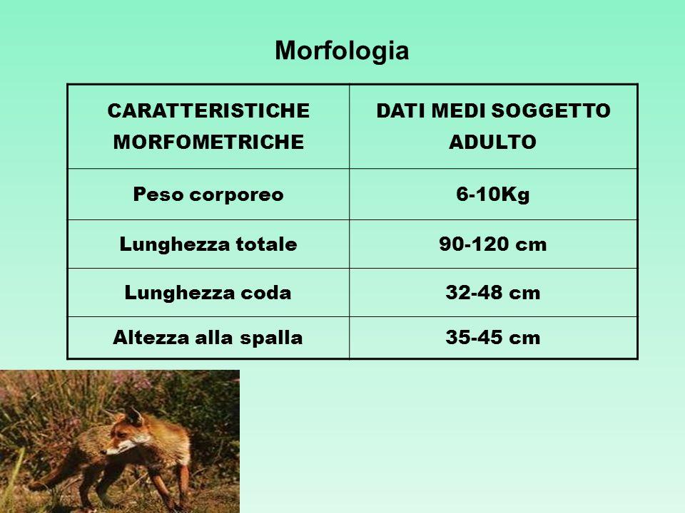 Morfologia CARATTERISTICHE MORFOMETRICHE DATI MEDI SOGGETTO ADULTO