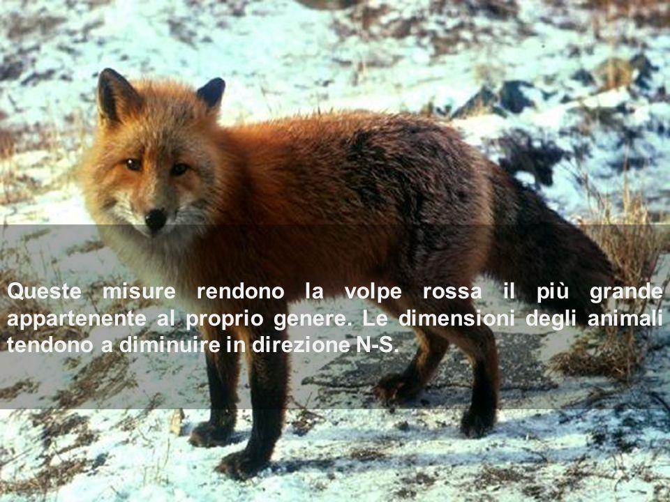 Queste misure rendono la volpe rossa il più grande appartenente al proprio genere.