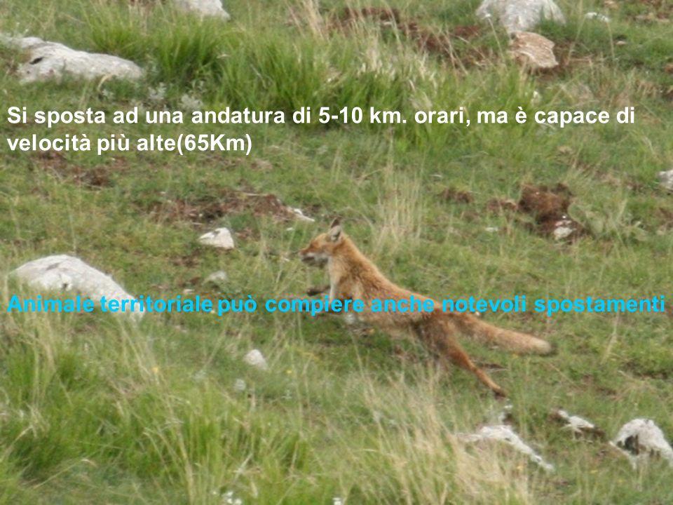 Animale territoriale può compiere anche notevoli spostamenti