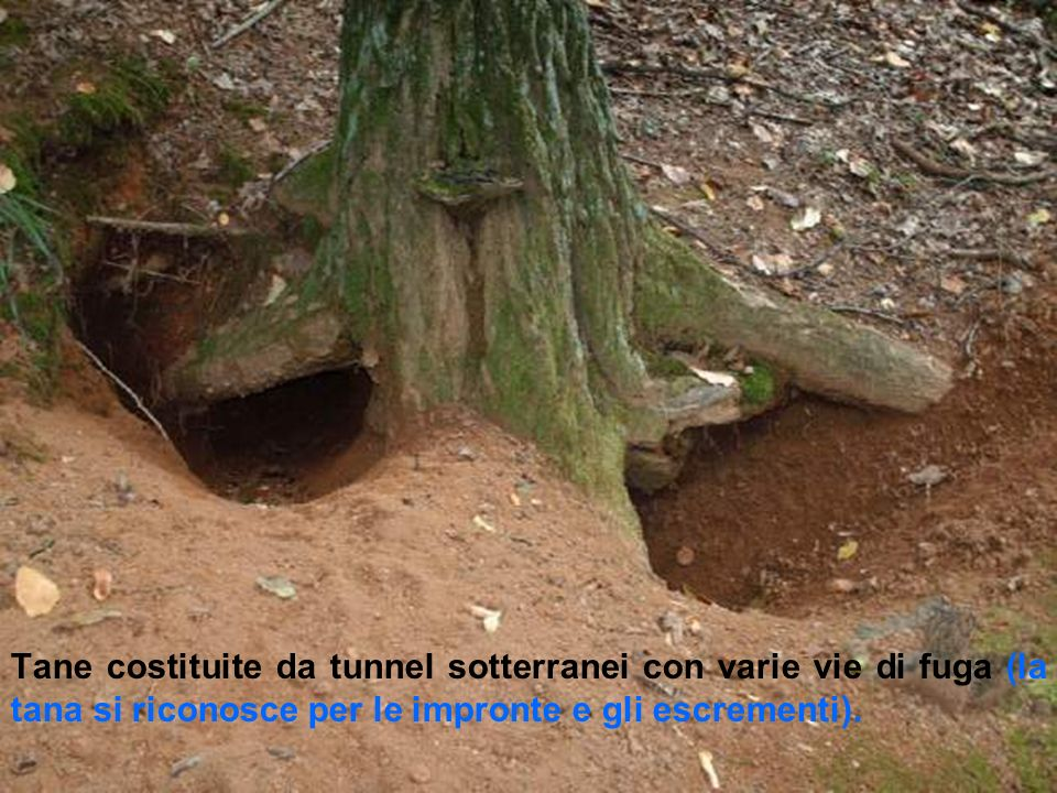 Tane costituite da tunnel sotterranei con varie vie di fuga (la tana si riconosce per le impronte e gli escrementi).
