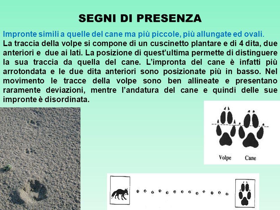 SEGNI DI PRESENZA Impronte simili a quelle del cane ma più piccole, più allungate ed ovali.