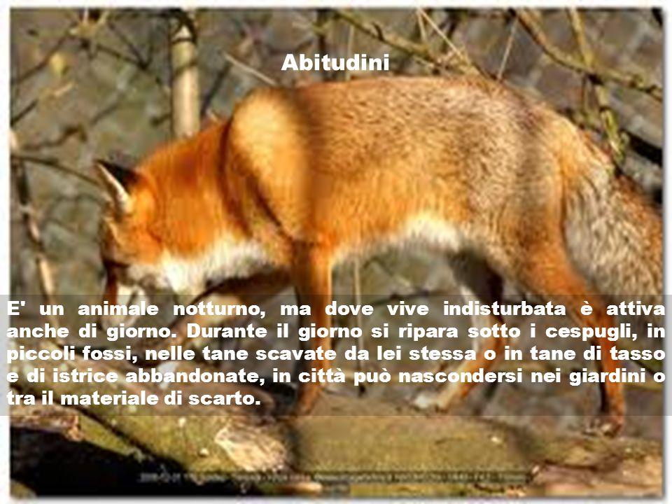 Corso controllo popolazioni selvatiche a t c bari la for Dove vive la volpe
