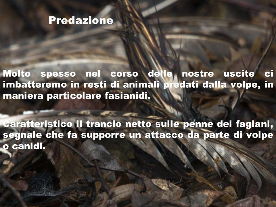 Predazione Molto spesso nel corso delle nostre uscite ci imbatteremo in resti di animali predati dalla volpe, in maniera particolare fasianidi.