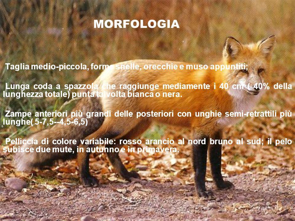 MORFOLOGIA Taglia medio-piccola, forme snelle, orecchie e muso appuntiti;