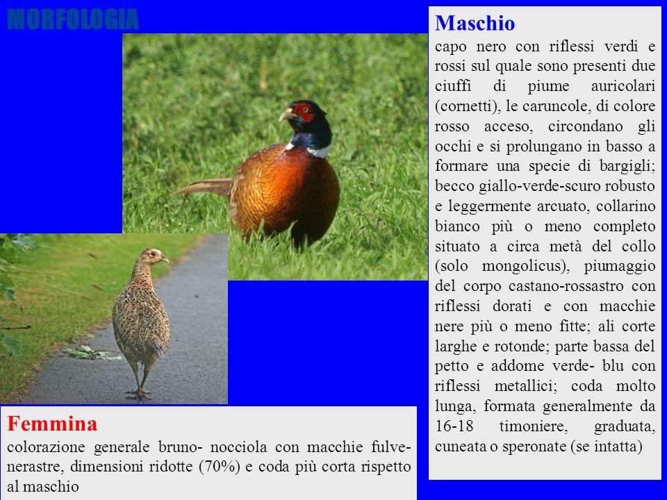 MORFOLOGIA Maschio Femmina