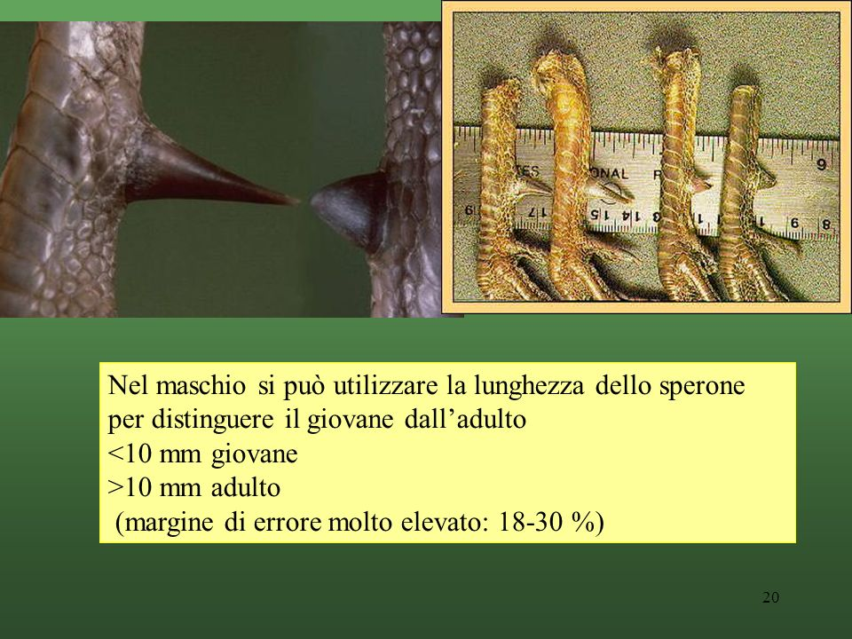 Nel maschio si può utilizzare la lunghezza dello sperone per distinguere il giovane dall'adulto