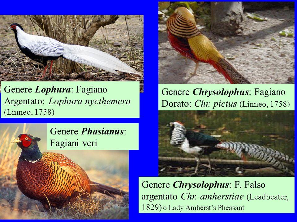 Genere Lophura: Fagiano Argentato: Lophura nycthemera (Linneo, 1758)