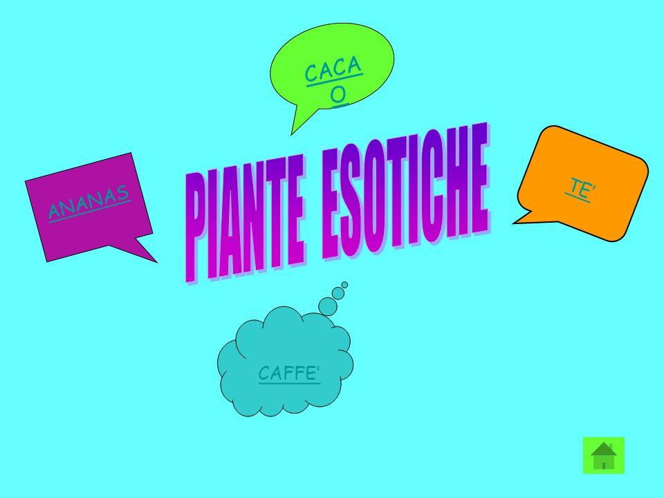 CACAO PIANTE ESOTICHE TE' ANANAS CAFFE'