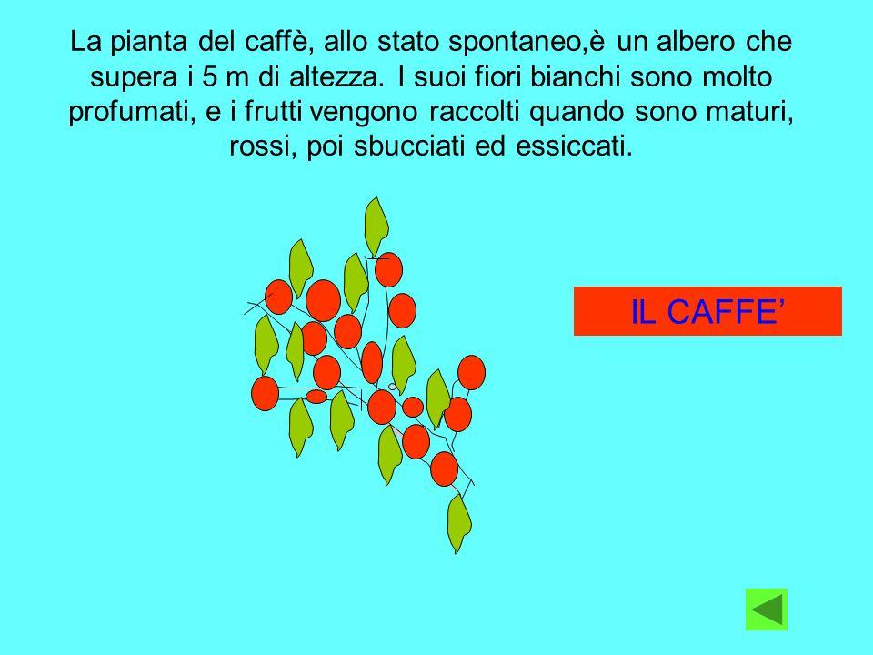 La pianta del caffè, allo stato spontaneo,è un albero che supera i 5 m di altezza. I suoi fiori bianchi sono molto profumati, e i frutti vengono raccolti quando sono maturi, rossi, poi sbucciati ed essiccati.