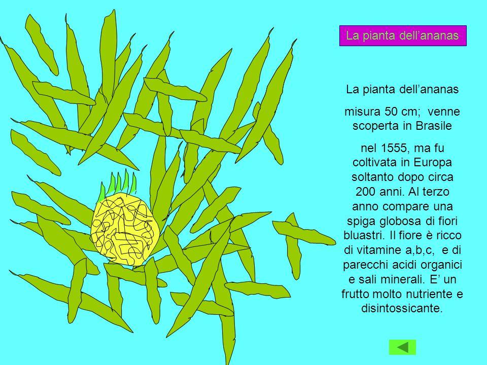 misura 50 cm; venne scoperta in Brasile