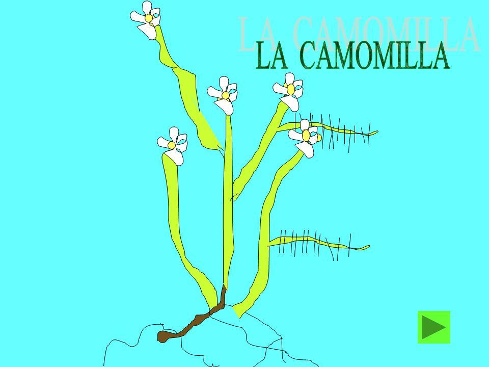 LA CAMOMILLA