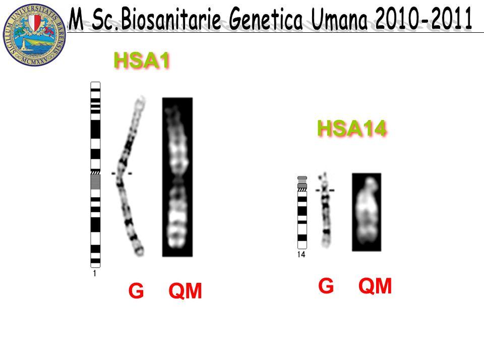 HSA1 HSA14 G QM G QM