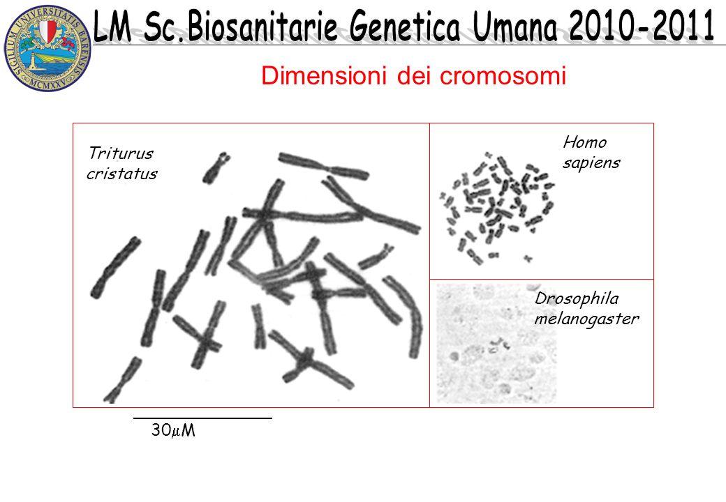 Dimensioni dei cromosomi