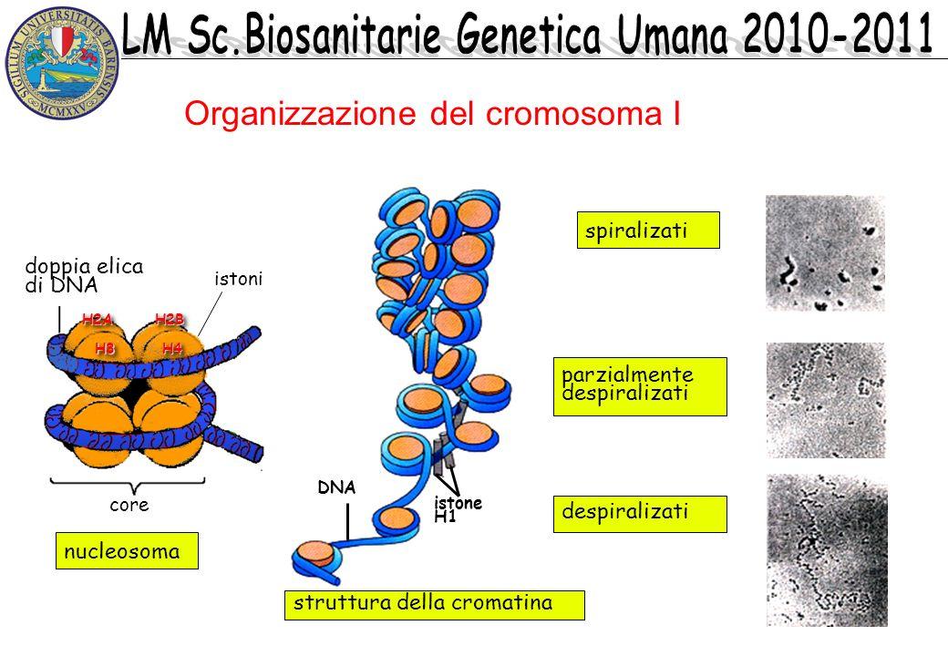 Organizzazione del cromosoma I