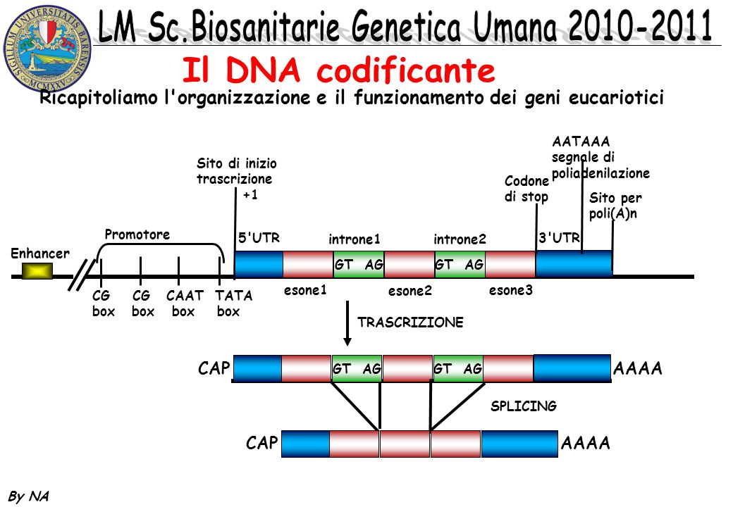 Il DNA codificante Ricapitoliamo l organizzazione e il funzionamento dei geni eucariotici. Enhancer.