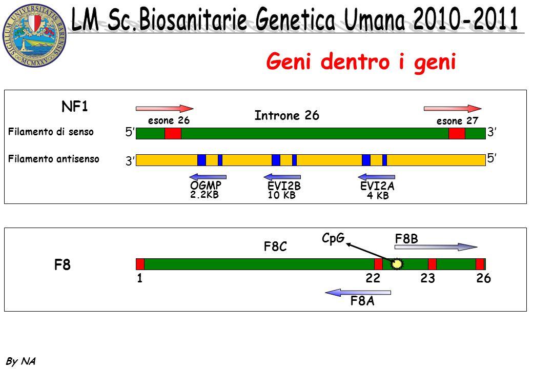 Geni dentro i geni NF1 F8 5' 3' Introne 26 F8B 1 22 23 26 F8C F8A CpG