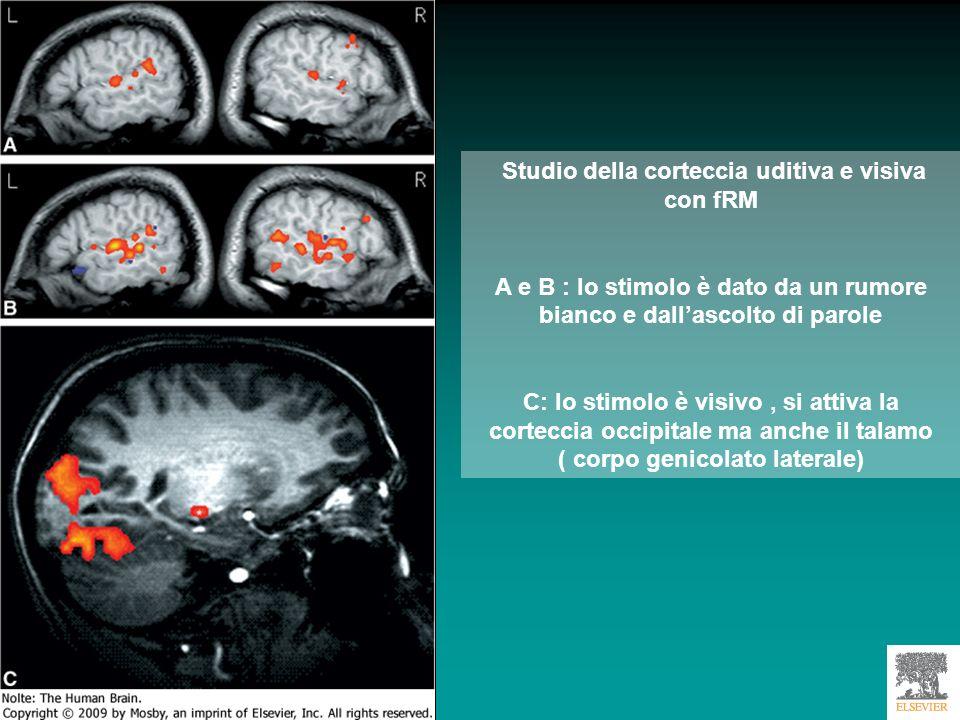 Studio della corteccia uditiva e visiva con fRM