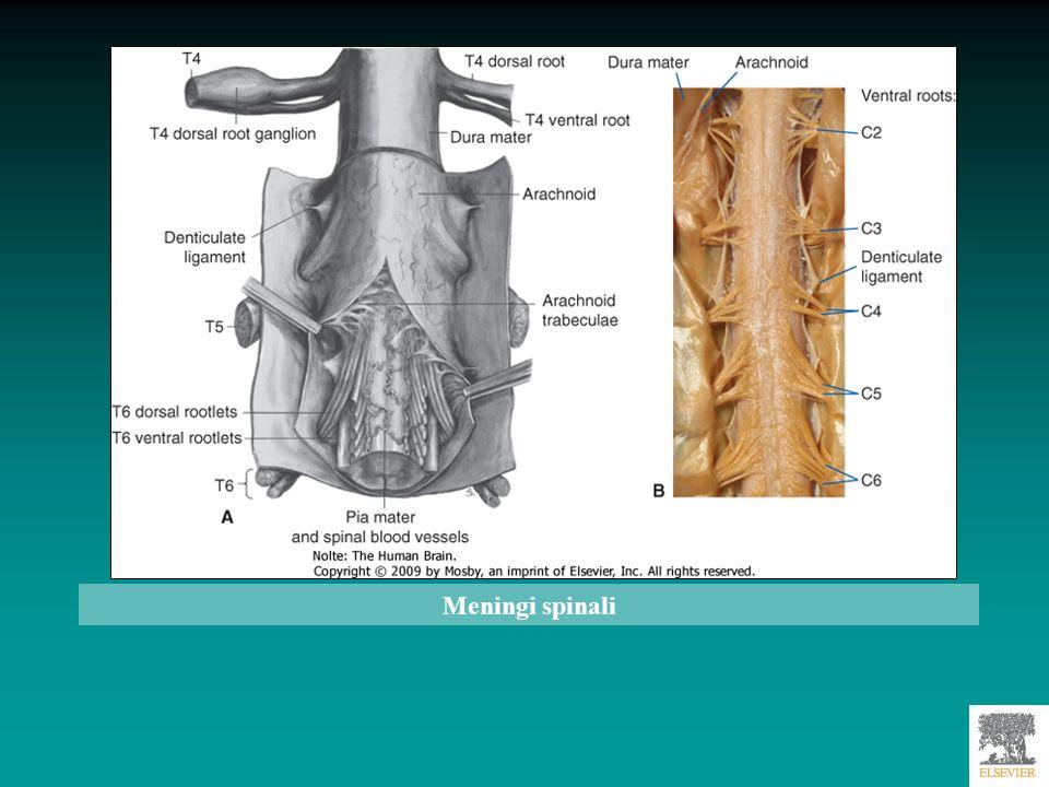 Meningi spinali