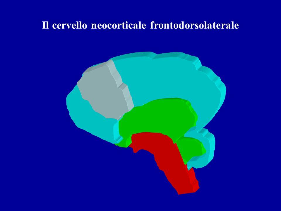 Il cervello neocorticale frontodorsolaterale