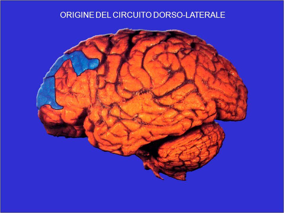 ORIGINE DEL CIRCUITO DORSO-LATERALE