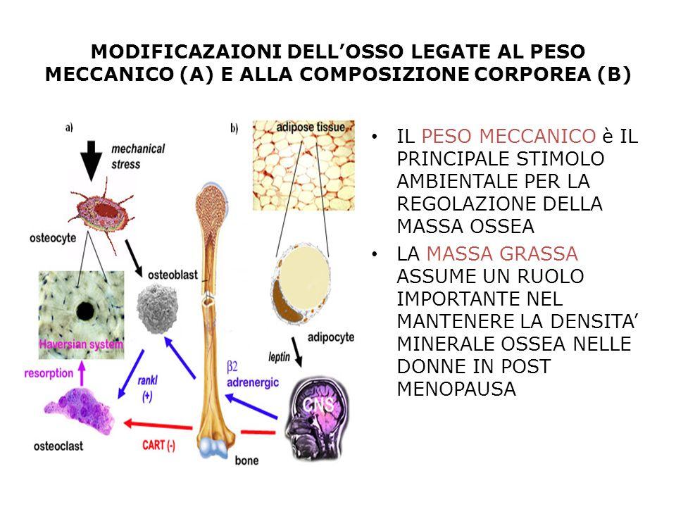 MODIFICAZAIONI DELL'OSSO LEGATE AL PESO MECCANICO (A) E ALLA COMPOSIZIONE CORPOREA (B)