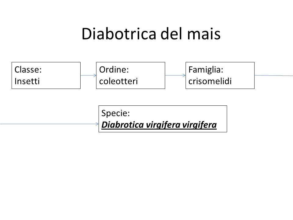 Diabotrica del mais Classe: Insetti Ordine: coleotteri Famiglia: